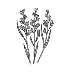Rice oryza plant sketch vector