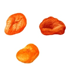 dried apricot vector image vector image
