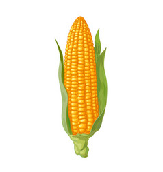 ripe corn cob with leaves ear of corn hand drawn vector image