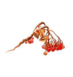 bunch rowan berries from splash watercolors vector image