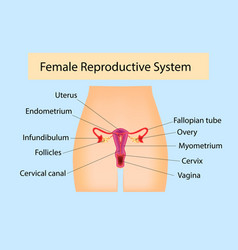 Female reproductive system useful for education in vector