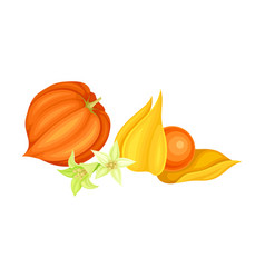 Physalis or indian ginseng papery husk or calyx vector