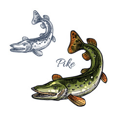 pike fish isolated sketch icon vector image vector image