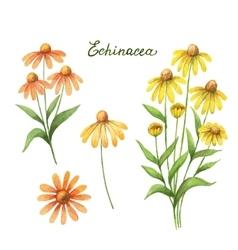 Watercolor of echinacea vector image
