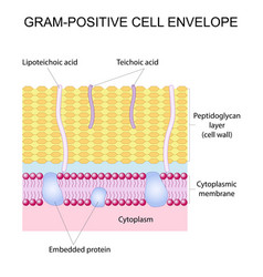 Gram-positive cell envelope vector