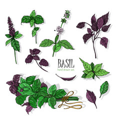 Set basil plant green and purple colorful vector