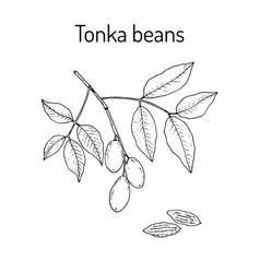 Tonka beans dipteryx odorata aromatic and vector