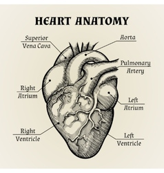 Black and White Heart Anatomy Graphic vector image vector image