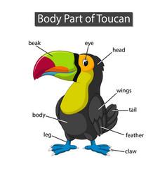 Diagram showing body part toucan vector