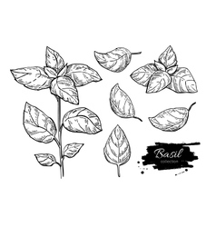 Basil drawing set isolated plant vector