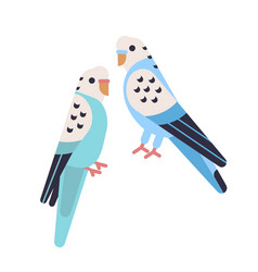 Pair of cute budgerigars isolated on white backgro vector
