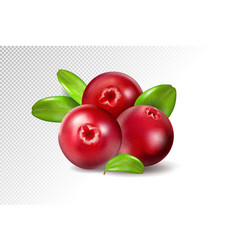 Cranberry with leaves on transparent background vector