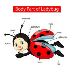 Diagram showing body part ladybug vector