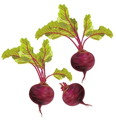Vegetable beet isolated on white background vector image