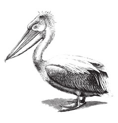 Crested pelican vintage vector