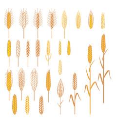 Ears of cereals plants set vector
