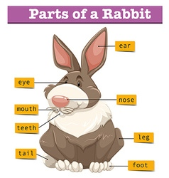 Diagram showing parts of rabbit vector image