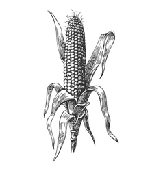 Ripe corn on cob with leaf vector
