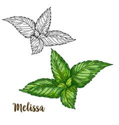color realistic sketch of melissa vector image