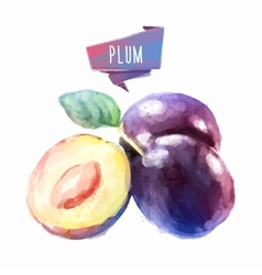 Plum hand drawn watercolor on a white background vector