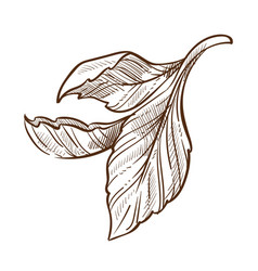 tea plant leaves isolated sketch green or black vector image