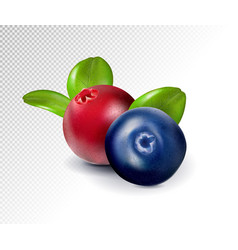 Blueberries and cranberries with leaves quality vector