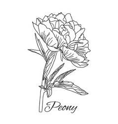 Cute peony flower in line art style isolated on vector
