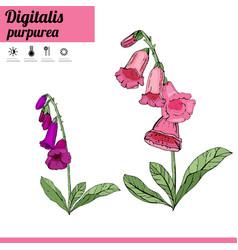 digitalis flower isolate on white vector image