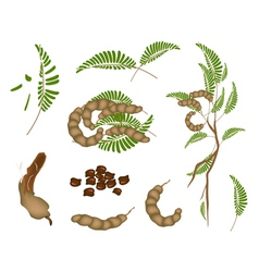 Set of Fresh Tamarind Pod and Leaves vector image vector image