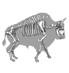Engraving bison skeleton vector