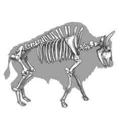 Engraving of bison skeleton vector