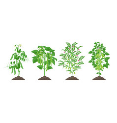 Legume plants with ripe fruits growing from soil vector