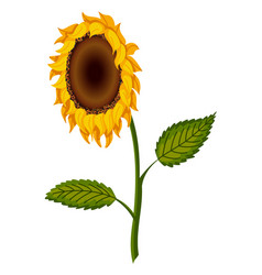 Sunflower blossom hand drawn sunflower with green vector