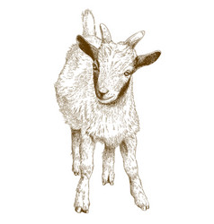 Engraving of goat kid vector