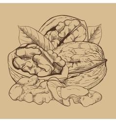 Walnut isolated on white background vector image