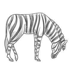 Wild animal grazing on field zebra monochrome vector