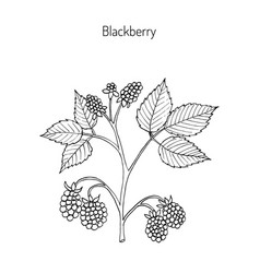 blackberry hand drawn botanical vector image