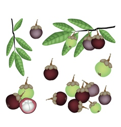Set of Fresh Purple and Green Mangosteens vector image vector image