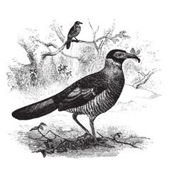 Two radiated ground cuckoo one with an insect in vector