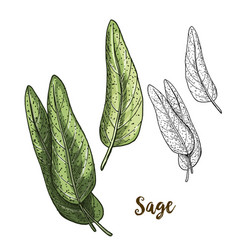 full color realistic sketch of sage vector image