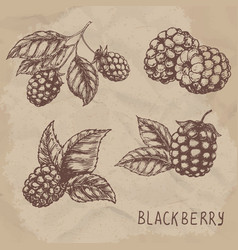set of drawing blackberry raspberry vector image