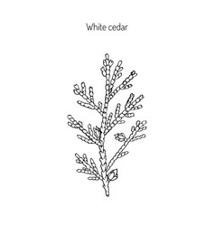 white cedar branch vector image