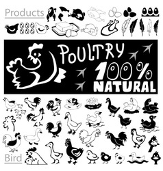 Poultry drawings and icons vector