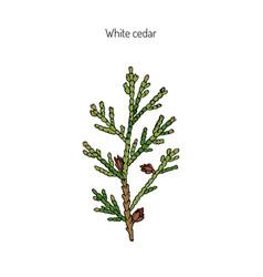 white cedar branch vector image