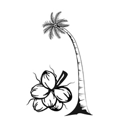 Coconut tree and fruits of coconut on white vector