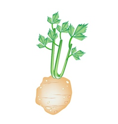 Fresh Green Celery Root on White Background vector image