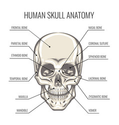 human skull anatomy vector image