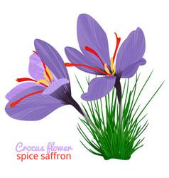 Vintage card with crocus flower violet set on vector
