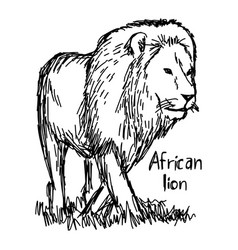 african lion walking - sketch hand vector image vector image