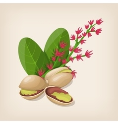 Pistachio nut in shell flower and leaves vector image vector image